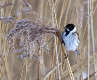 Reed Bunting Perch