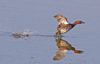 Action Grebe 2