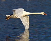 Swan, Wing stand on water