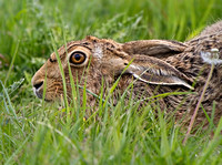 Hare with a low profile