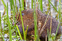 Ratty (Water Vole Tales from the river bank )