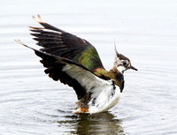 Lapwing Wash