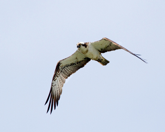 Osprey at Rutland Water