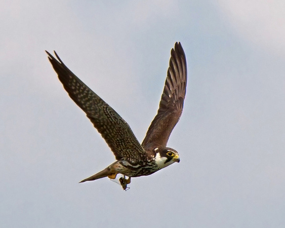 Hobby with prey ( Some times you get lucky )