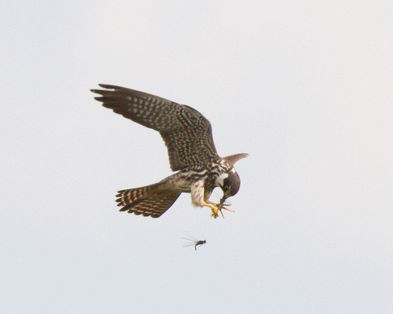 Hobby and Prey