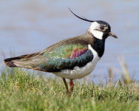 Cley Lapwing
