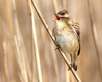 Sledgy the Sedge Warbler
